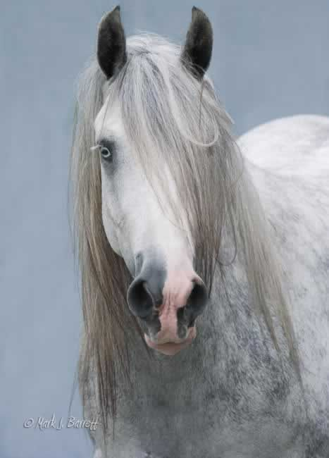 ☀Silver Lady is an extraordinary Gypsy Vanner mare. Simply stunning to the eye with her striking color, topped off by her amazingly piercing eyes. To add to her incredible good looks she boasts the most exquisite head weve ever seen on a Gypsy mare.