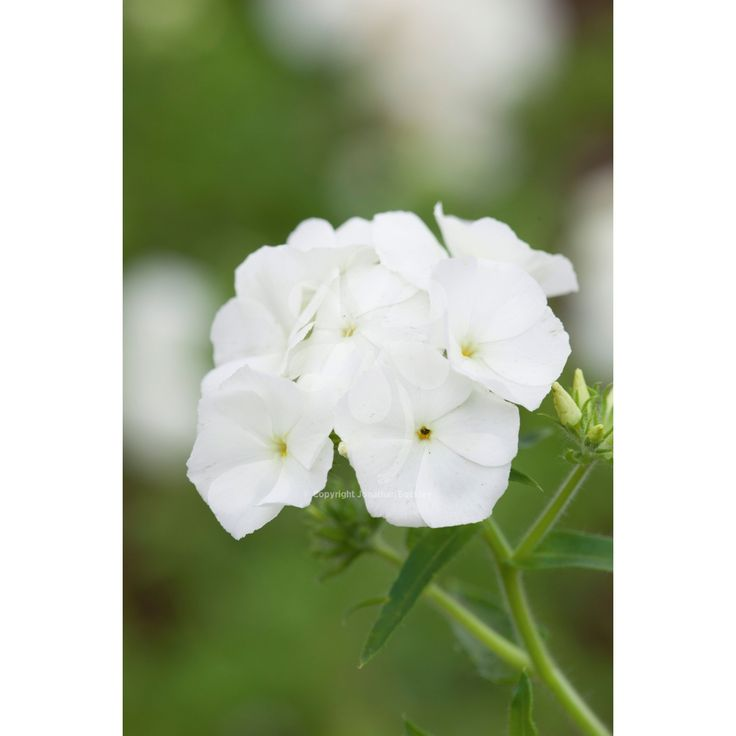 A phlox to flower for four or five months for containers or cut flowers all summer and autumn.