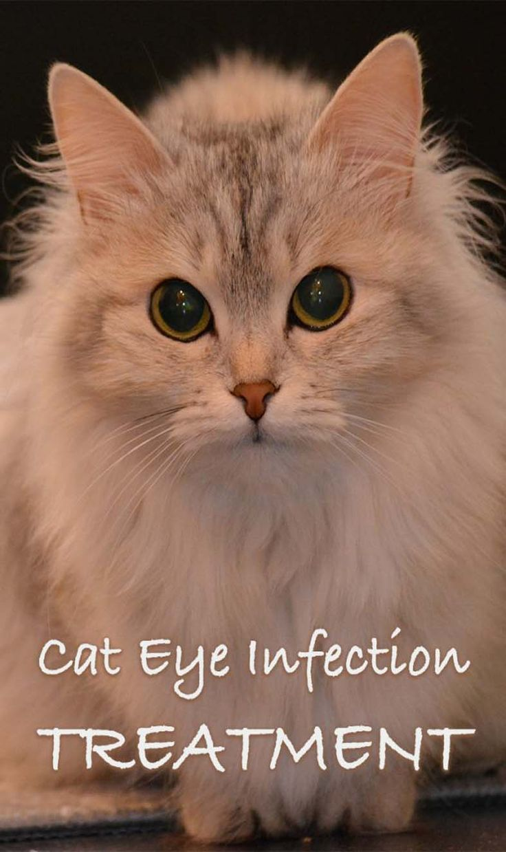 Conjunctivitis Infection in Cats Cat eye infection, Eye