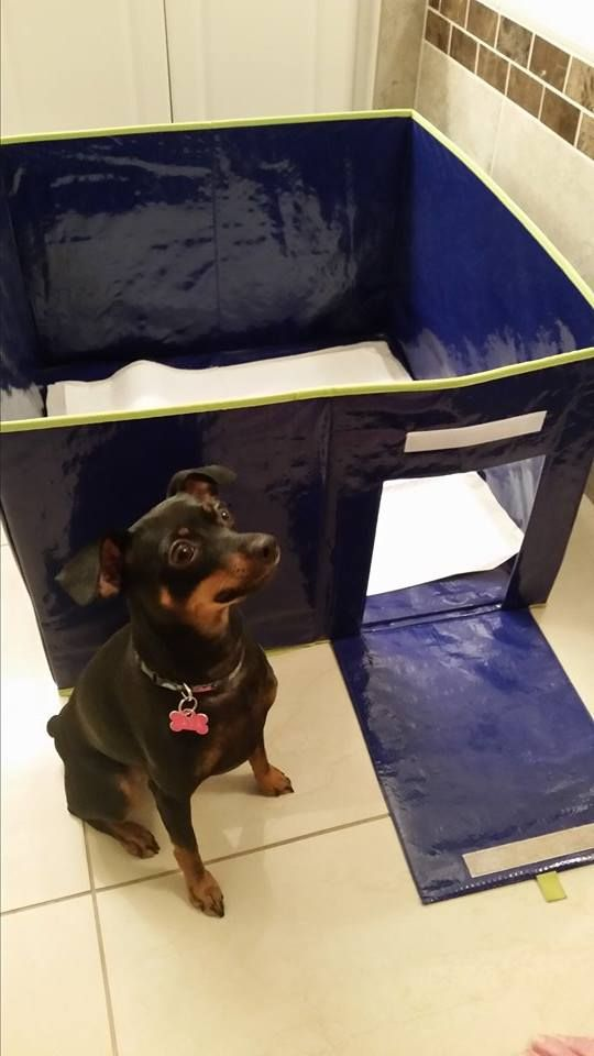 "Meet Java! This Min Pin loves her private indoor potty! Her humans call it ""Java's condo"". www.packnpiddle.com"