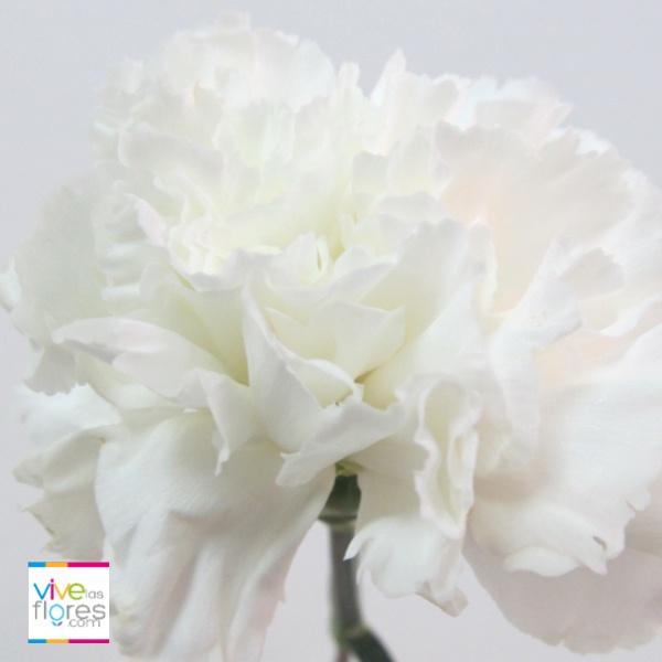 Sencillos pero muy dicientes así son los claveles blancos de Vivelasflores.com. Recuerda que nuestras flores han sido cultivadas pensando en ti!