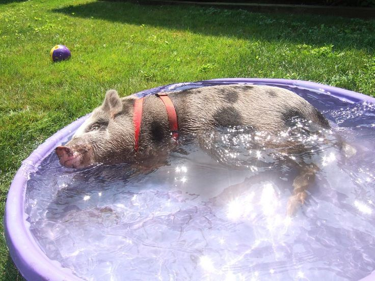 Juliana pet pig enjoying a dip in the kiddy pool