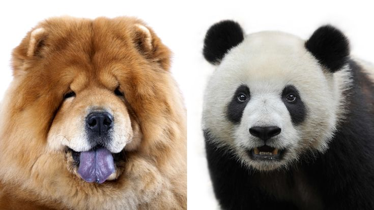 An Italian circus has been busted for passing off chow chow puppies—dyed black…   – chow chows