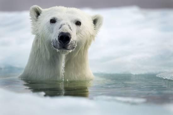 Polar Bear, Hudson Bay, Canada Photographic Print by Paul Souders at AllPosters.com