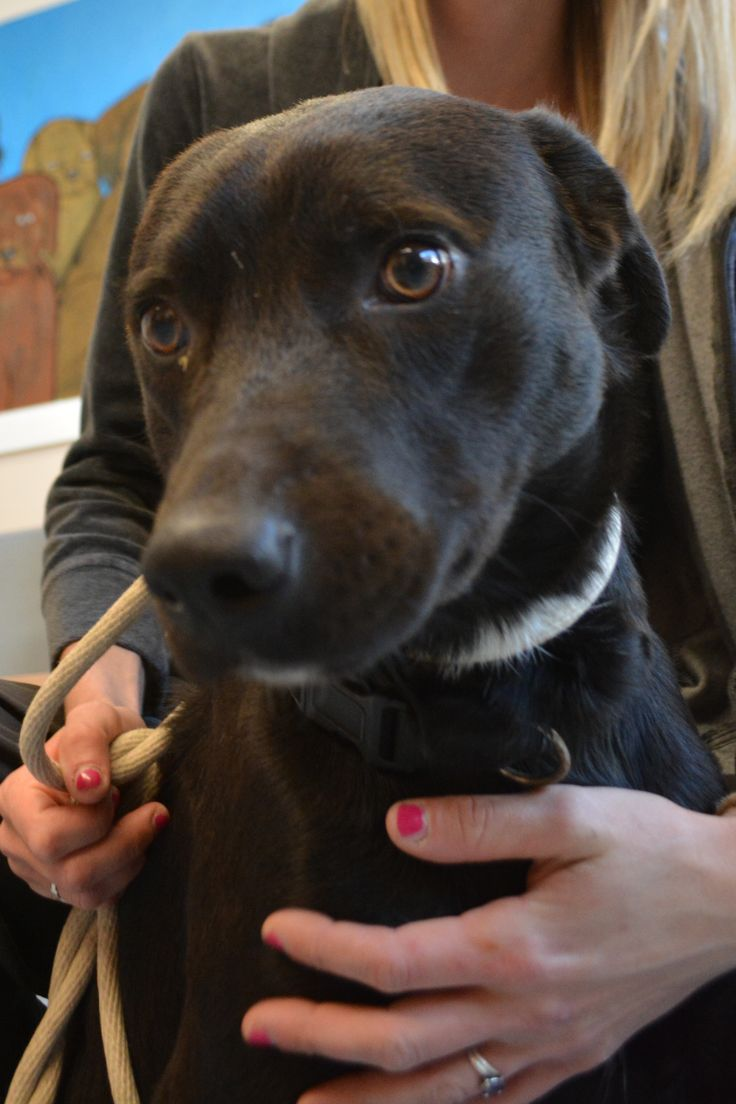 **available For Adoption** Cortez Is A Male Lab Mix Who Is About