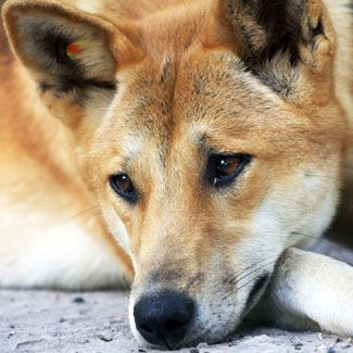 Dingoes arrived in Aus around 18k years ago from China
