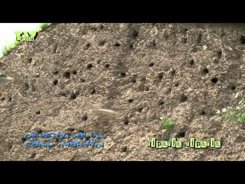 Oeverzwaluw - Riparia riparia - Sand Martin #03