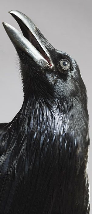 "Crow ""Handsome fellow,"" She said.  Blue-black, Eyes of knowing, cocked Head, he is peering At her with certainty. ""Caw!"" His answer of love."