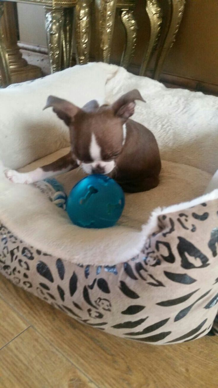 Pablo The Red Boston Terrier Puppy. My big ears are up....