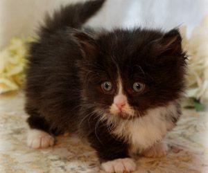 Napoleon Kittens zu verkaufen | Persische Kätzchen | Saint Louis Munchkin Kätzchen …   – Adorable Kittens
