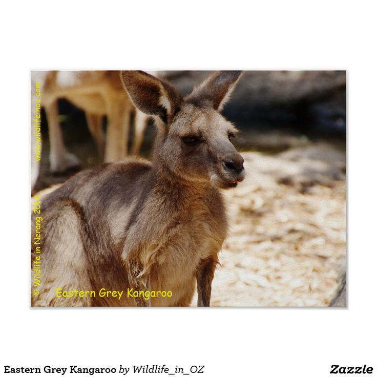 Eastern Grey Kangaroo Poster - Click on photo to view item then click on item to see how to purchase that item. #kangaroo #easterngreykangaroo #marsupial #poster #wildlife #australianwildlife #zazzle