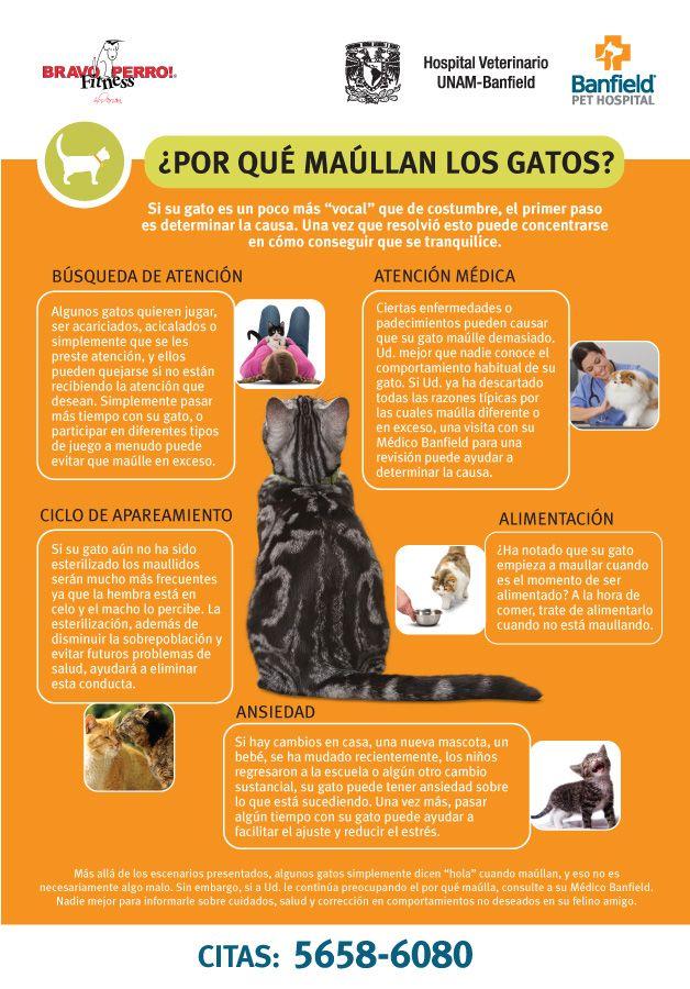 ¿Conoces bien a tu #gato? ¿Sabes que te quiere decir cuando maúlla? Aquí te damos unos tips para que entiendas a tu gatito. #BanfieldTips