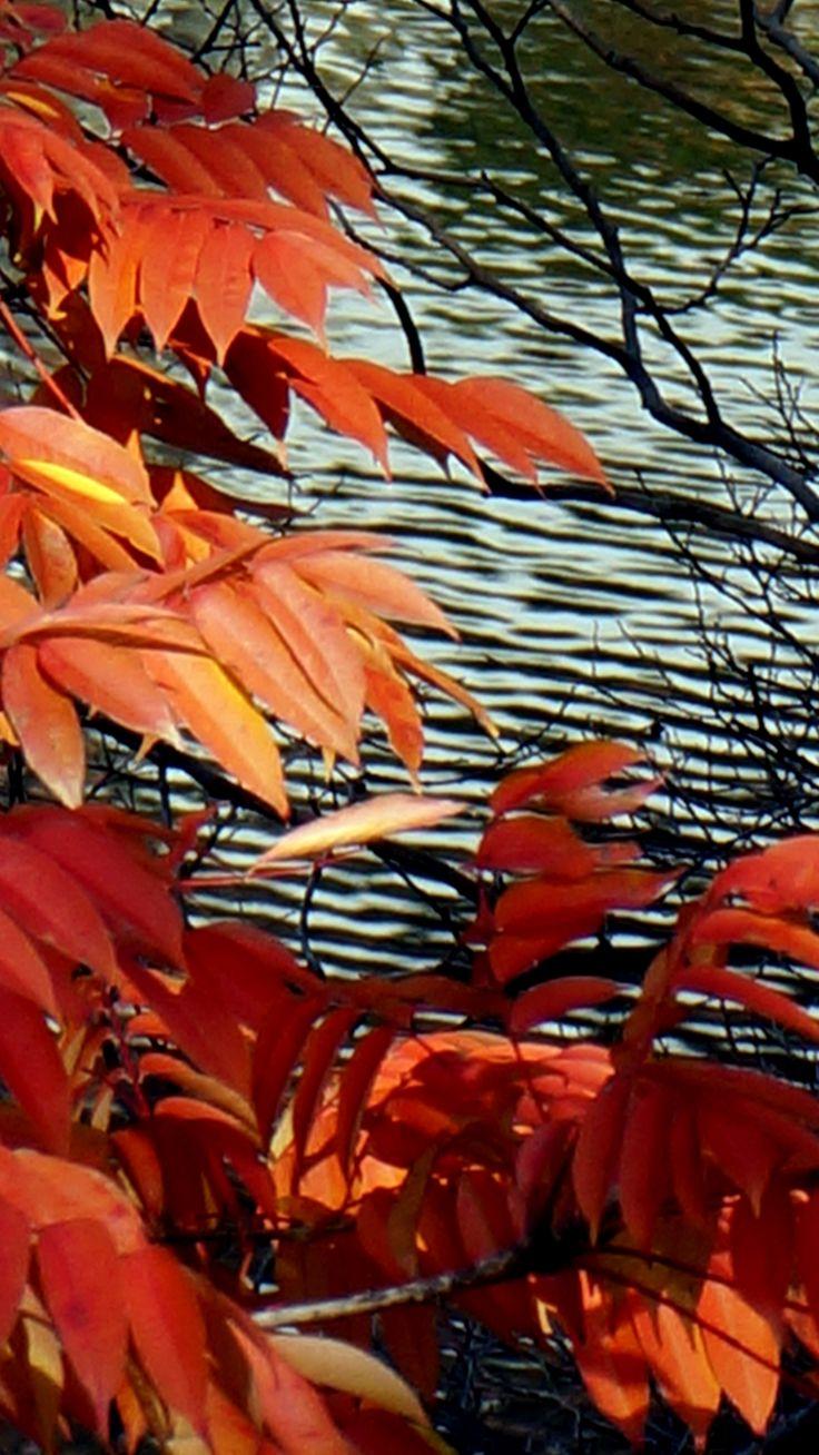 Autumn leaves 紅葉