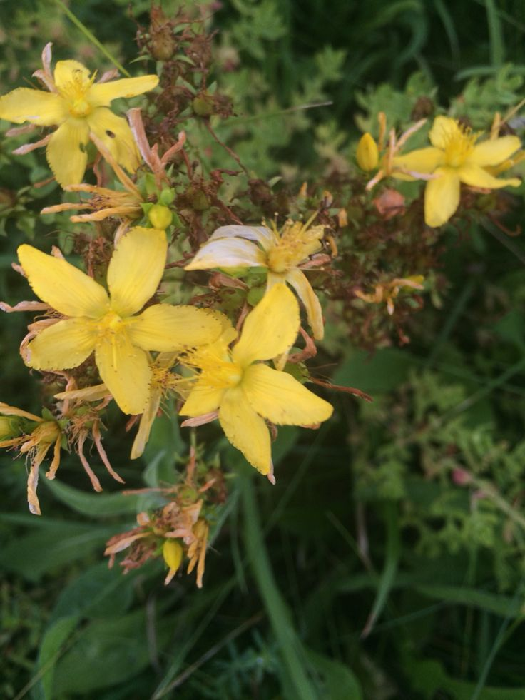 There is also a nice patch of Shrubby St. John's Wort north of Route 23 just before you cross the Rip van Winkle Bridge.