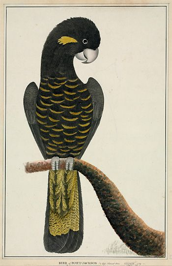 Yellow-tailed black cockatoo, Calyptorhynchus funereus, George Raper, 1789