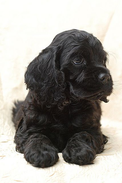 American Cocker Spaniel Puppy Cut