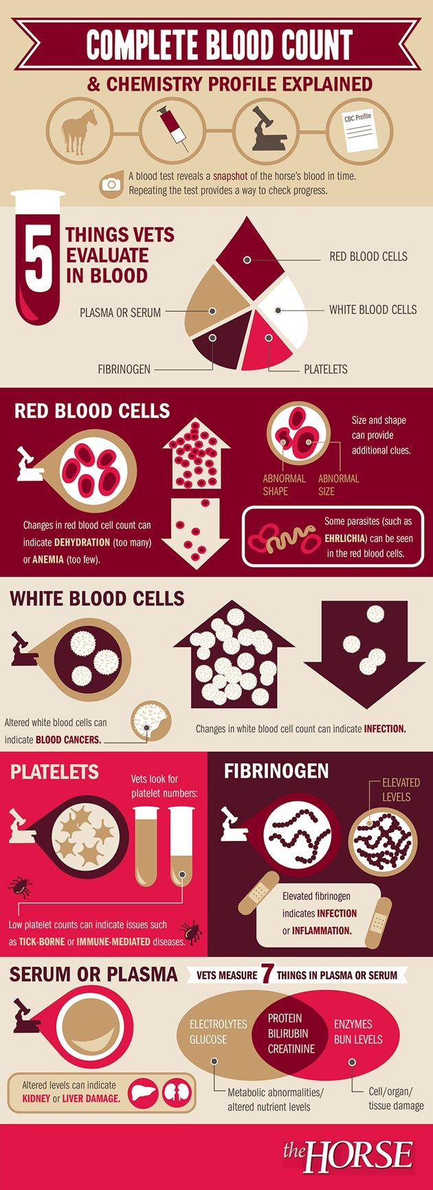 Reading a blood test can be confusing. Here's a helpful infographic developed by TheHorse.com that describes a typical blood test and what it's results might mean for your horse. #horsehealth #infographic