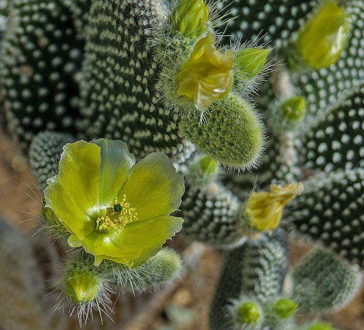Opuntia microdasys 'Albata'