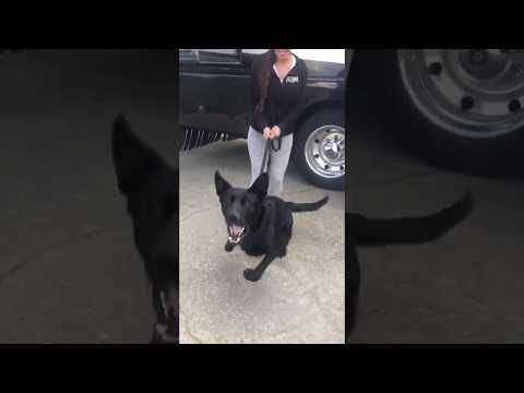 Take a breather and catch up with my video💥 Sarra the Protector.  Black GSD For Sale https://youtube.com/watch?v=YLv1ycKGltY