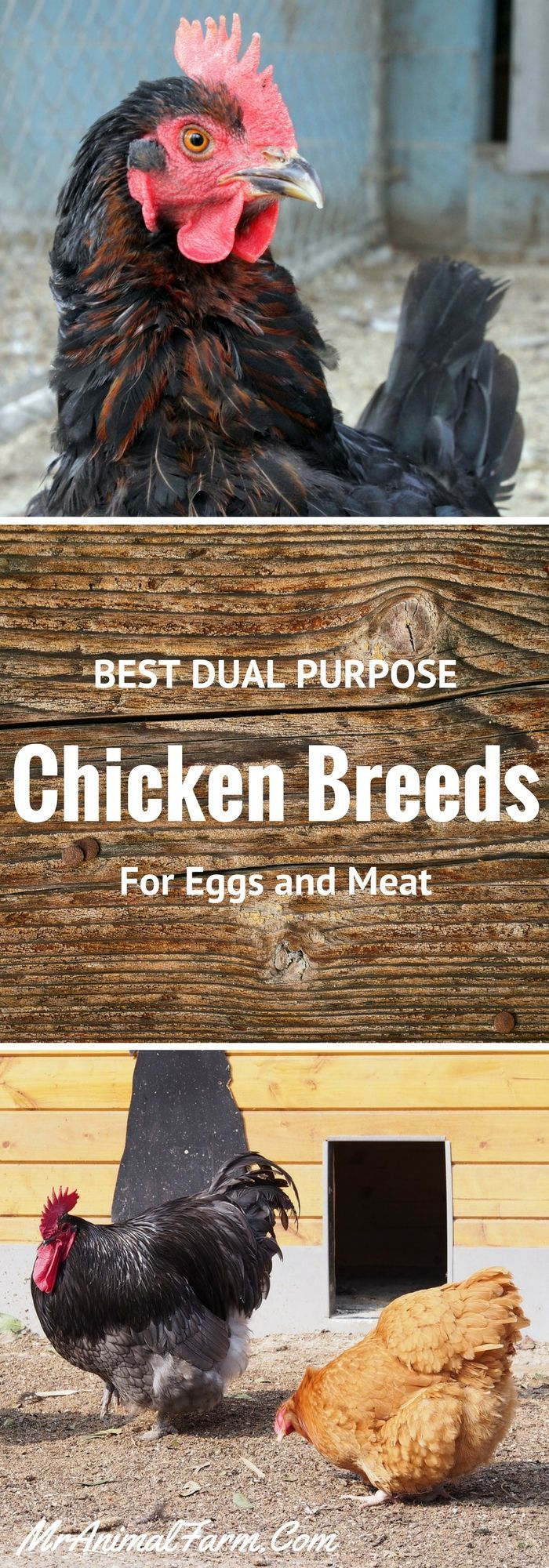 Best dual purpose chicken breeds.  Find out the best chicken breeds for both eggs and meat.