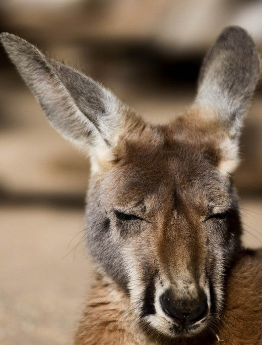 Kangaroo by NickiMM