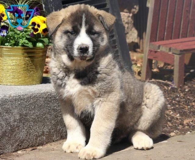 Mya Puppies Akita Dog Akita Puppies