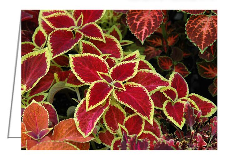 """Coleus Mix - Greeting Card. Photographed in a nursery greenhouse where a number of pots were arranged close together making a massive display of many colour variations of coleus. 5"""" x 7"""". Blank inside. Includes envelope. Buy online at Rob's Cards and Prints."""