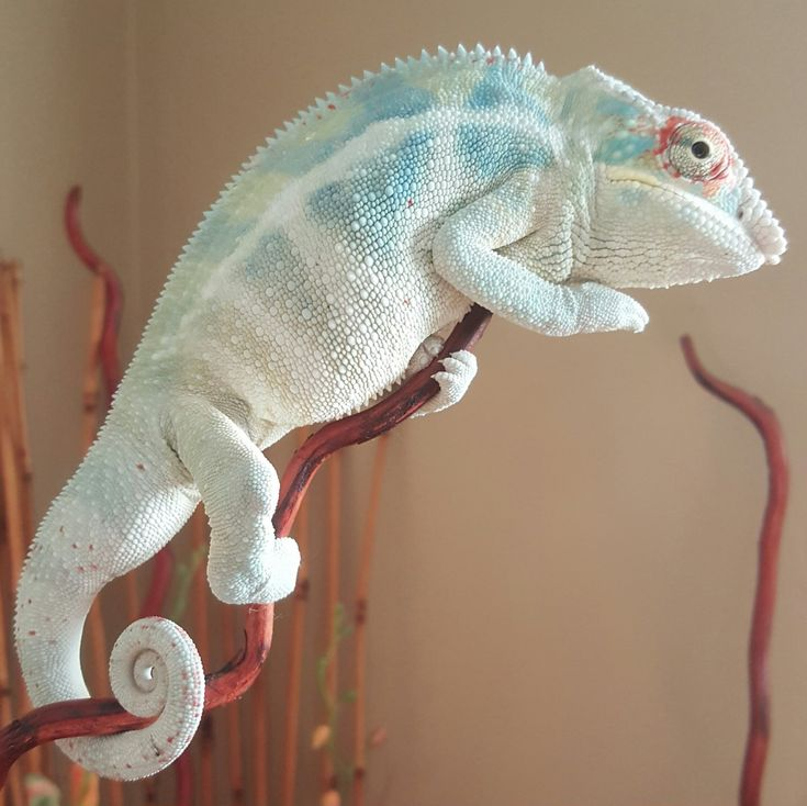 Calling all kammer babies | Page 24 | Chameleon Forums