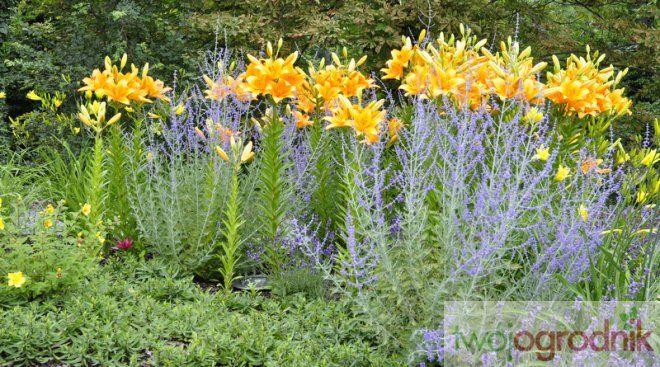 Lubia Glebe Wapienna Miesiecznik Twoj Ogrodnik Dream Garden Plant Combinations Plants