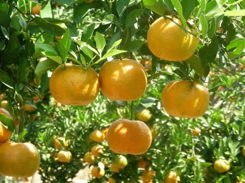 Mandarin tree: Fruit Treesfruit, Fruit Trees Fruit, Treesfruit Plants, Trees'S Fruit Plants, Trees Fruit Plants, Mandarin Trees, Fruit Trees'S Fruit