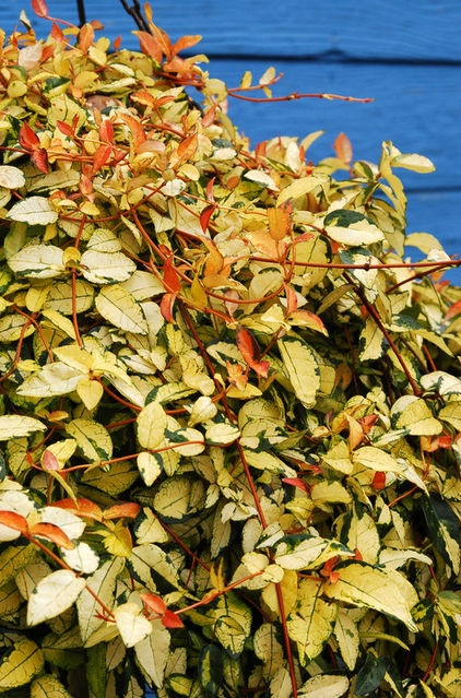 Asian jasmine (Trachelospermum asiaticum) has been a popular evergreen ground cover in the South for years, and when we say weed smothering, we mean it with this one. It's for those who want a very low, very dense hedge. If you're in the market for that with a little added pizzazz, check out these fabulous variegated cultivars: 'Gold Brocade' (shown here)