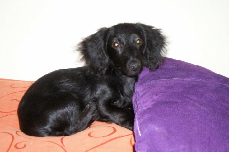 Buster Brown.... sweetest solid black long haired dachshund EVER ...