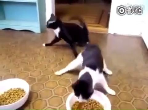 The cats who just came back from the hospital after being drugged .🤣 The real foodies they are.🤣