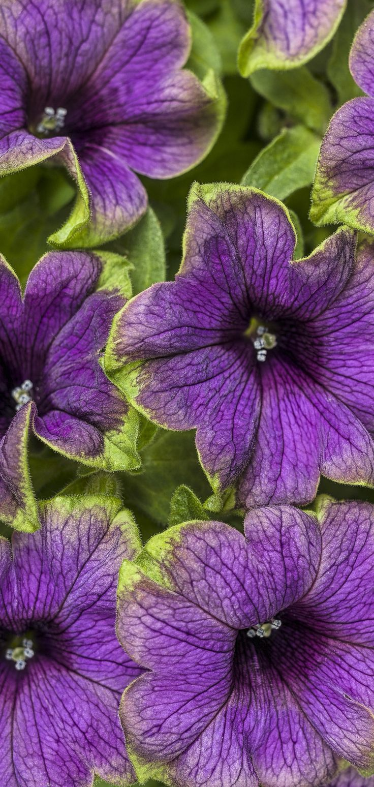 Here S A New Addition To Our Ever Popular Picasso Series New This Spring Is Supertunia Picasso In Purple Dark Purple Petunia Flower Petunias Purple Petunias