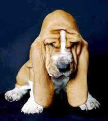 Картинки по запросу бассет хаунд щенки фото