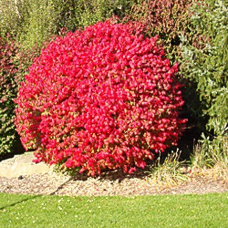 Compact Dwarf Burning Bush, Flaming Red Fall Color, Live Shrub for Sun in a 3 gallon pot, USDA Plant Zones 3,4,5,6,7