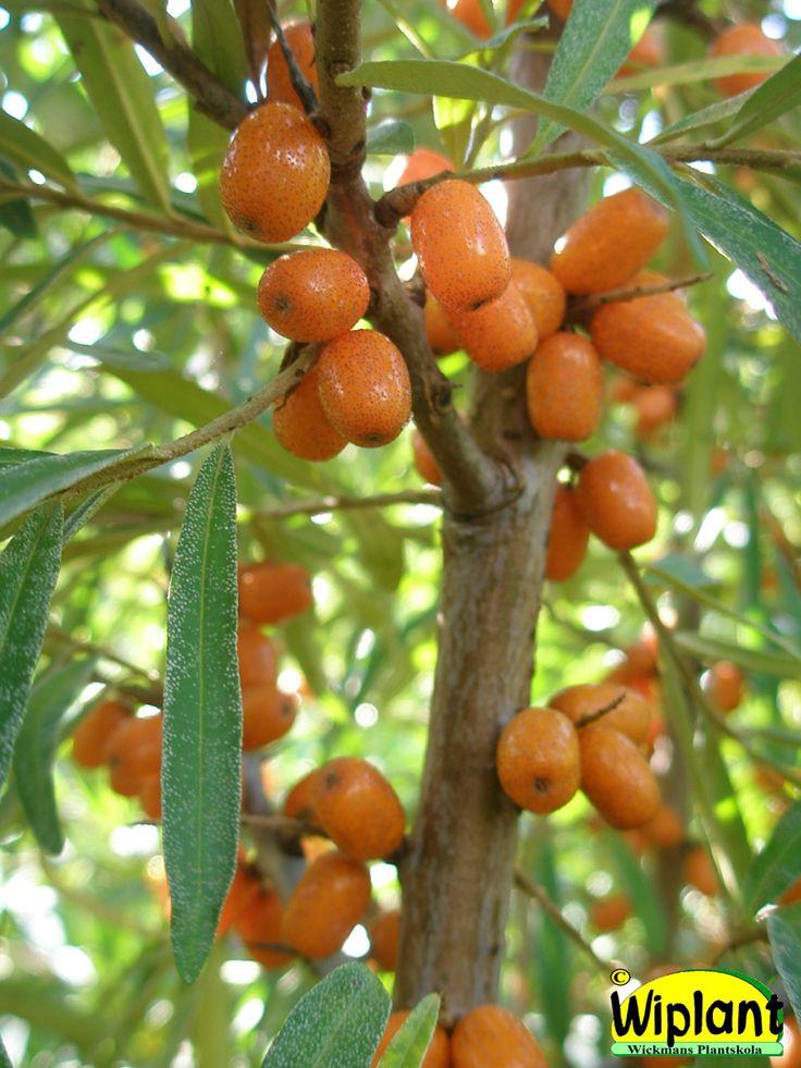 Hippophae rhamnoides 'Tytti', honplanta. FinE-sort. Finsk korsning. Honbuske som är frisk. Royaltybelagd. Mycket C-vitamin (215-360 mg/100 g). Rekommenderad skördemetod: klipp av varannan kvist och frys. Höjd: 1,5-2 m. Zon V.