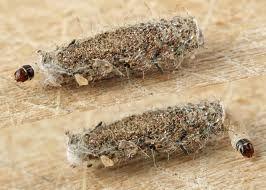 larve della polvere - Cerca con Google