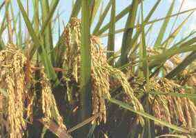 Rice hulls in construction - Appropedia: The sustainability wiki