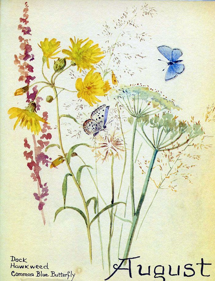 August 1905, Hawkweed and little blue butterfly ~ Edith Holden