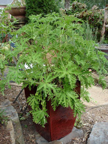 Grow citronella mosquito plant in a large container. LIST  protrljati  po kozi  - limunast  miris PROTIV  KOMARACA