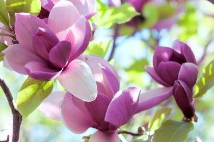 Come coltivare la Magnolia, l'albero che ci regala i fiori-inno della primavera (Foto)