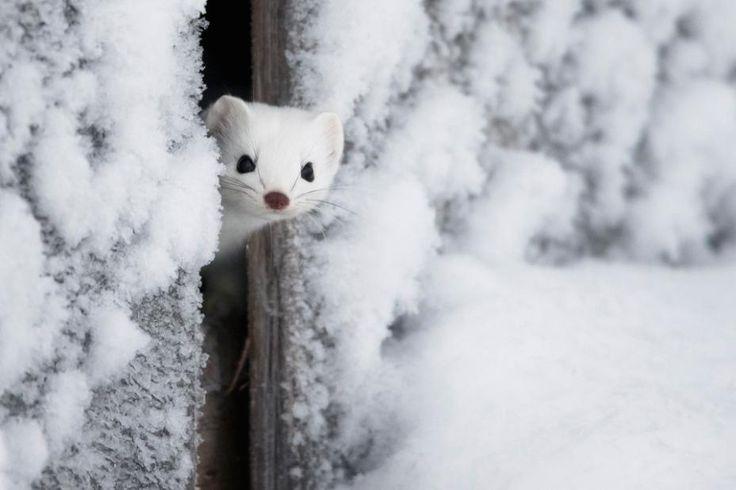 Vuoden Luontokuva 2014 / Kurkistus. Ville Heikkinen #finland #animals #winter