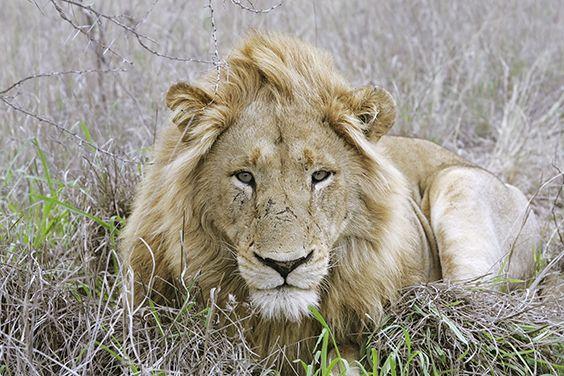 Auf der Lauer... - © LION SANDS PRIVATE GAME RESERVE | SÜDAFRIKA