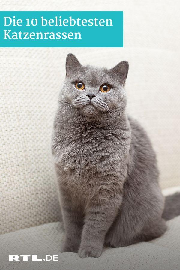 Die 10 Beliebtesten Katzenrassen Im Netz Katzen Rassen