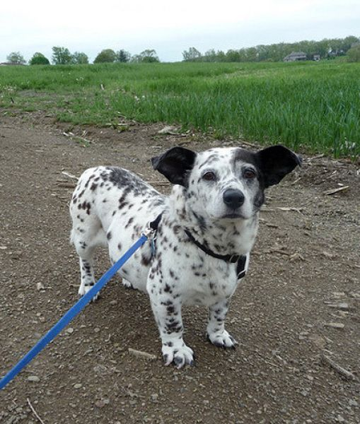 """CORGI-DALMATIAN       """"I'm not sure I can keep up with the fire truck."""""""