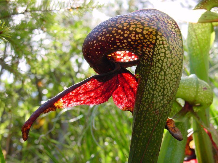El curioso mundo de las plantas carnívoras - http://www.jardineriaon.com/el-curioso-mundo-de-las-plantas-carnivoras.html