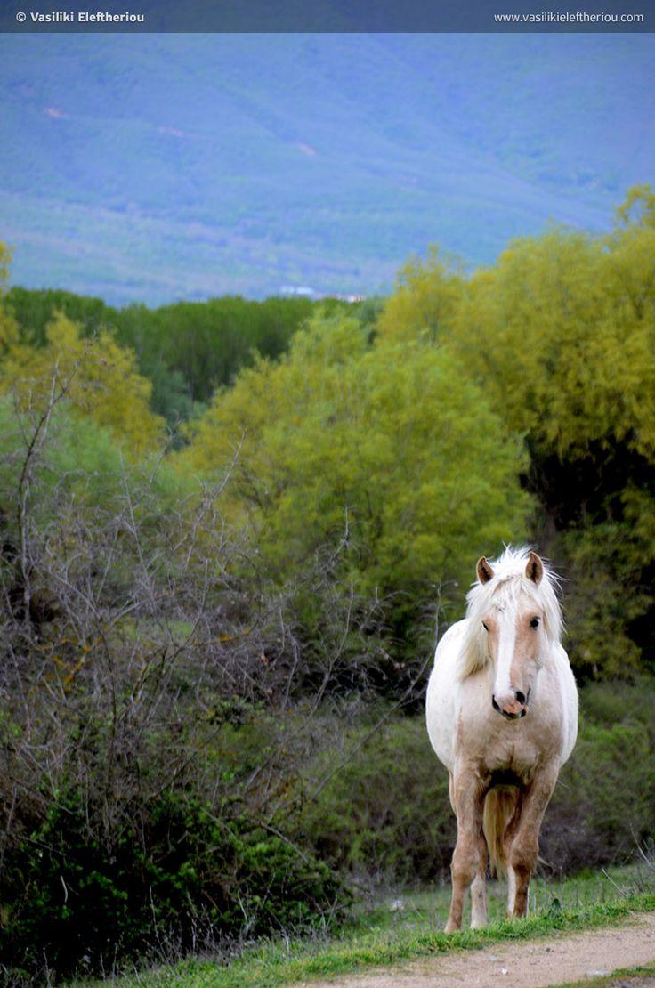 Wild Horses of Lake Kerkini #Macedonia Greece photo by Vasiliki Eleftheriou