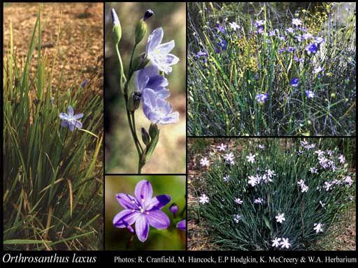 Orthrosanthus laxus - morning iris