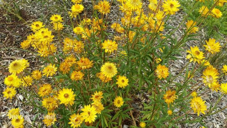 "Golden Everlasting Bush ""Xerochrysum"""
